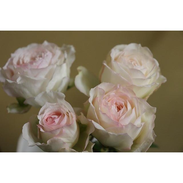 19 新作入荷 NEW 強香 バラ苗 2〜3号 定価 切り花品種接ぎ木 購入前に下記の重大なコツなどを読んでください KN29-1