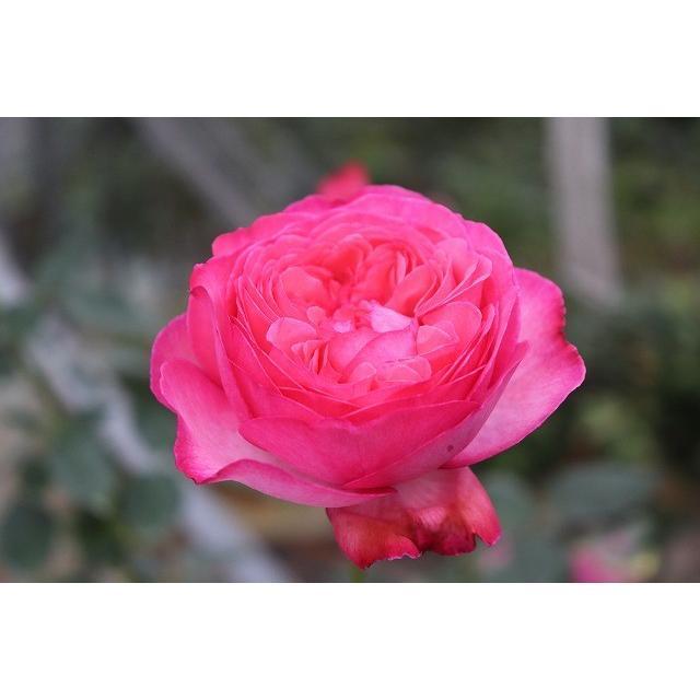 19 NEW 強香 イブ交配 バラ苗 kn29-258 切り花品種接ぎ木 アンソルスラン 贈与 内祝い 購入前に下記の重大なコツなどを読んでください 2〜3号