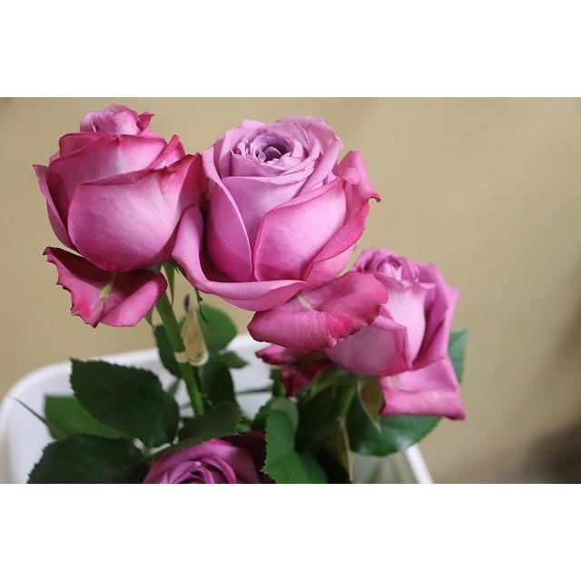 19 NEW バラ苗 切り花品種接ぎ木 2〜3号 特価キャンペーン ニュクス kn29−261パープル 休み 購入前に下記の重大なコツなどを読んでください