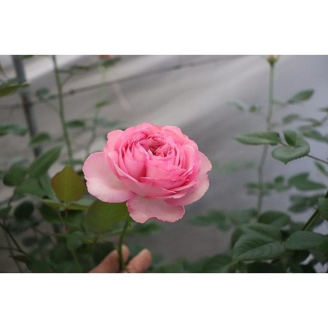 19 NEW 強香 バラ苗 2〜3号 切り花品種接ぎ木 購入前に下記の重大なコツなどを読んでください KO4フレグランス 人気 時間指定不可 おすすめ