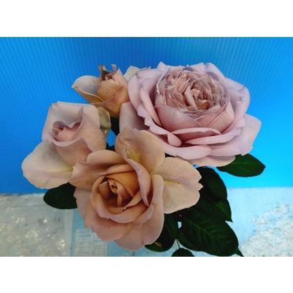 ブランド品 19 NEW バラ苗 切り花品種接ぎ木 購入前に下記の重大なコツなどを読んでください シャリテトワ 2〜3号 至高 kn30-16