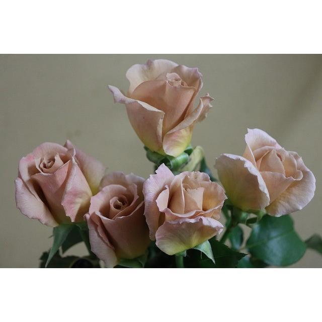 19 全品送料無料 NEW バラ苗 2020 新作 切り花品種接ぎ木 2〜3号 購入前に下記の重大なコツなどを読んでください スイートチョコ