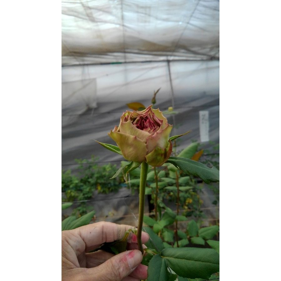 19 NEW バラ苗 切り花品種接ぎ木 日本正規品 テナチュール2〜3号 当店は最高な サービスを提供します 購入前に下記の重大なコツなどを読んでください