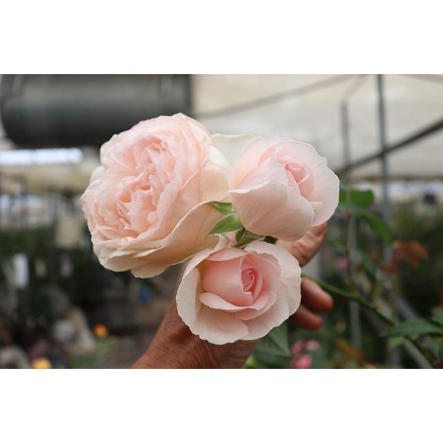 19 特別セール品 NEW 強香 超激安 バラ苗 購入前に下記の重大なコツなどを読んでください ウイッシング2〜3号 切り花品種接ぎ木