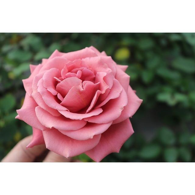 19 NEW スーパーセール バラ苗 マホガニーベール2〜3号 購入前に下記の重大なコツなどを読んでください 切り花品種接ぎ木 卸売り