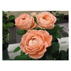 開催中 19 NEW バラ苗 切り花品種接ぎ木 高級品 購入前に下記の重大なコツなどを読んでください シャンス2〜3号 ラ