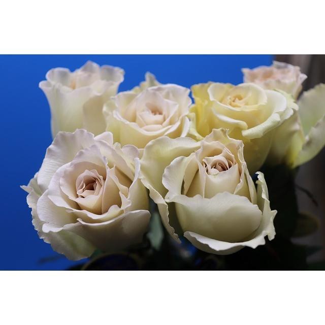 19 NEW 強香 お値打ち価格で バラ苗 最安値に挑戦 購入前に下記の重大なコツなどを読んでください 切り花品種接ぎ木 サーシャ2〜3号