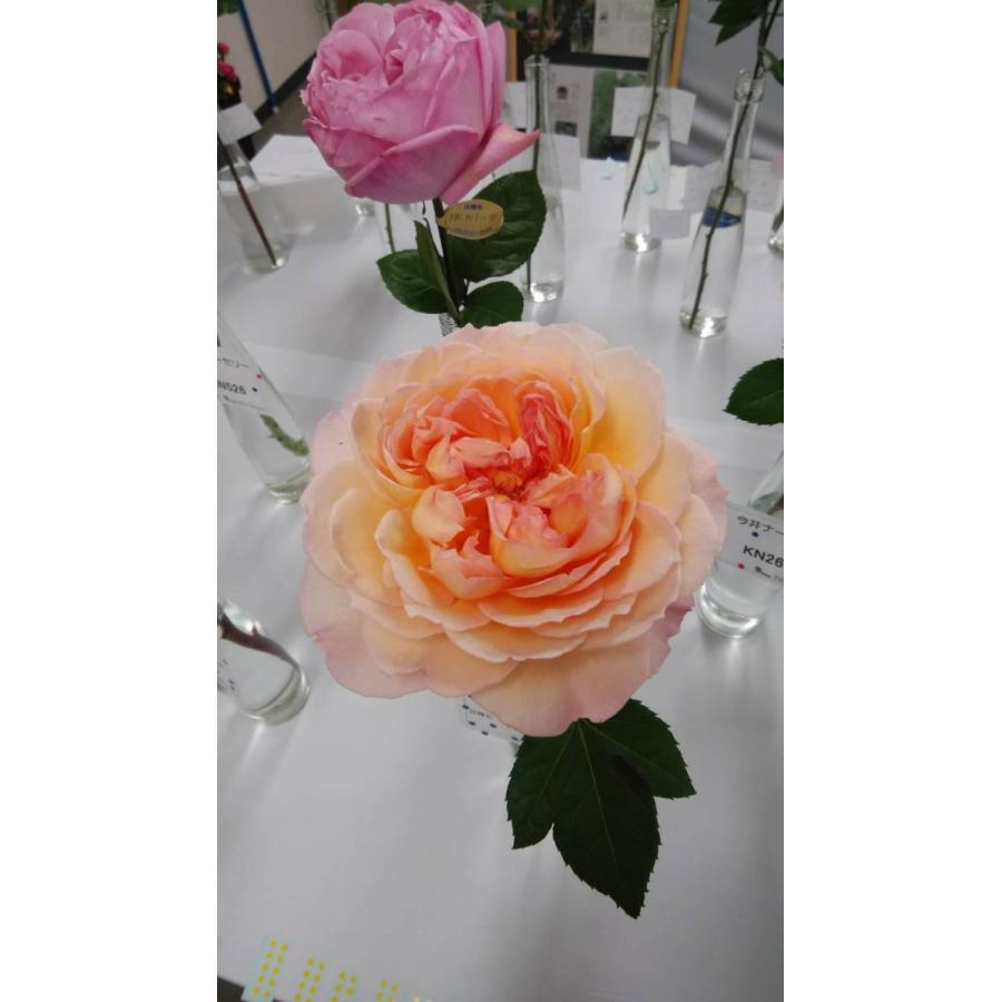 20 NEW 年間定番 強香 バラ苗 大人気 kn26-130 2〜3号 切り花品種接ぎ木 購入前に下記の重大なコツなどを読んでください