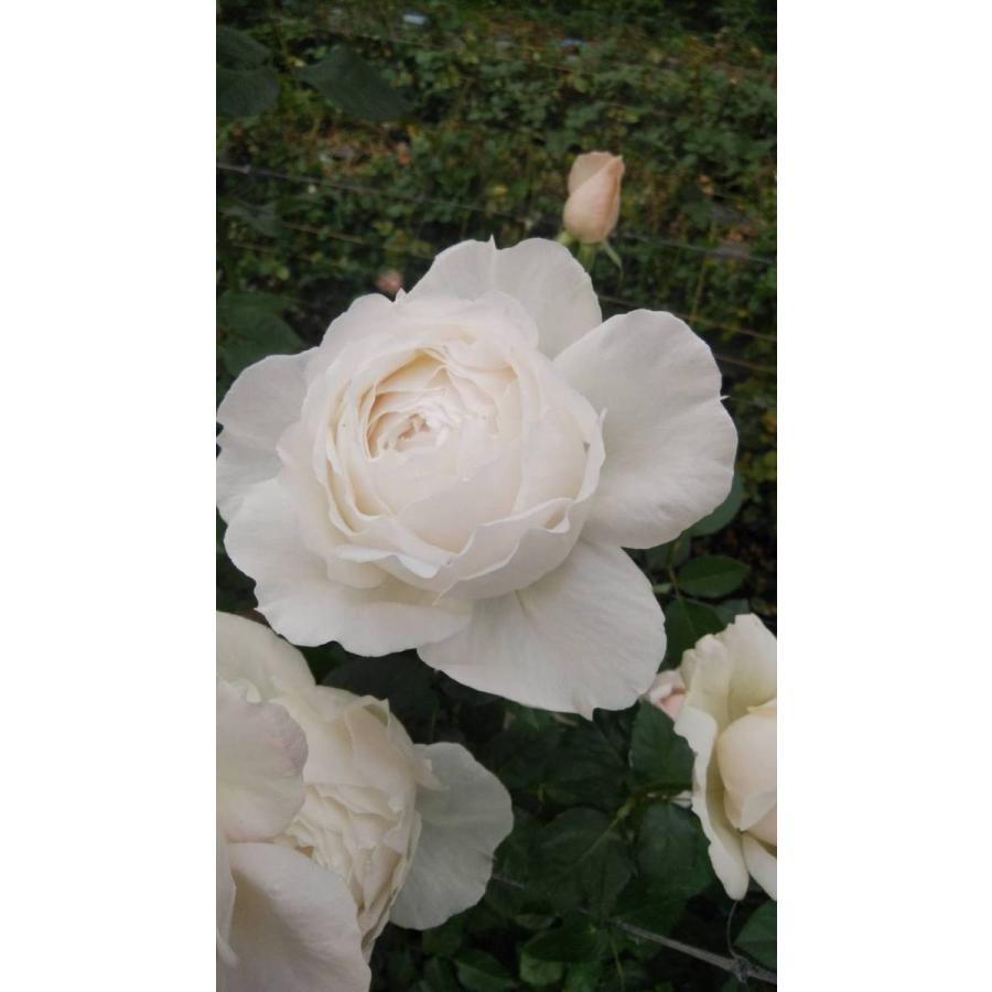 大人気! 20 NEW 強香 バラ苗 日本製 切り花品種接ぎ木 ユハルknR1-24 購入前に下記の重大なコツなどを読んでください とげ少ない 2〜3号