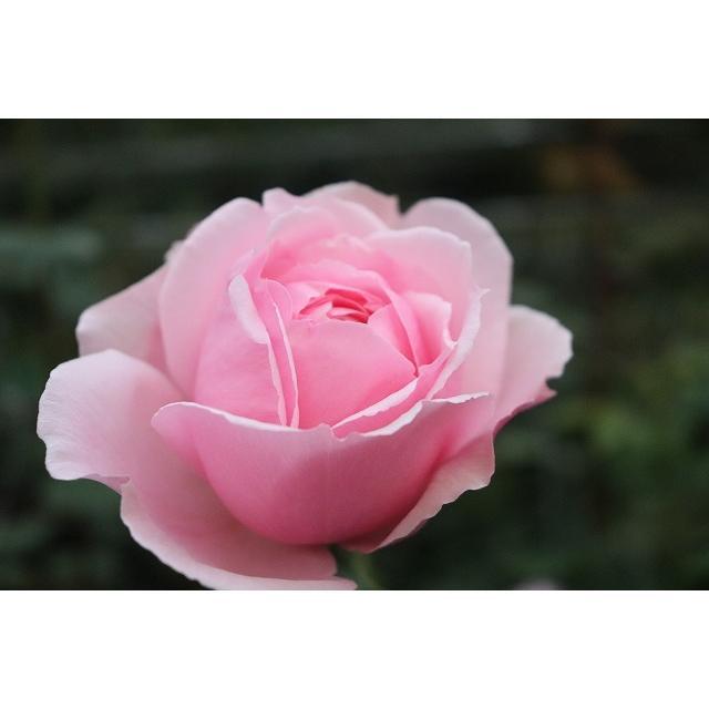 20 NEW 強香 イブ交配 バラ苗 2〜3号 切り花品種接ぎ木 毎週更新 とげ少ない kn-R1-8 購入前に下記の重大なコツなどを読んでください セール特別価格