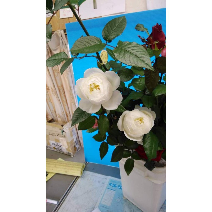 送料無料激安祭 20 NEW 希望者のみラッピング無料 とげなし バラ苗切り花品種接ぎ木 房咲性 スノーウエーブ 購入前に下記の重大なコツなどを読んでください knR1-12白cp 2〜3号