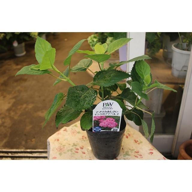 21アナベル 苗 国内送料無料 鉢花 アジサイの仲間 4号ロングポット チープ ピンクアナベル2 蕾がないものが多いですが繰り返し咲なので咲くかもしれません
