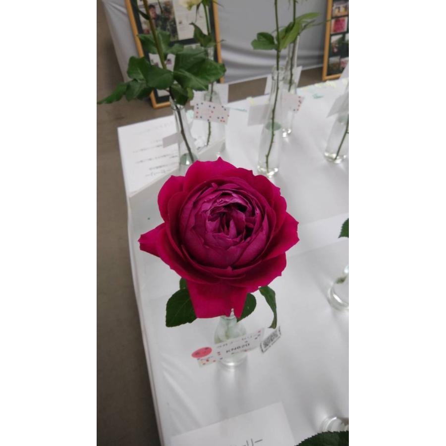 21 初売り NEW 強香 バラ苗切り花品種接ぎ木 kn620 激安 激安特価 送料無料 2〜3号 購入前に下記の重大なコツなどを読んでください