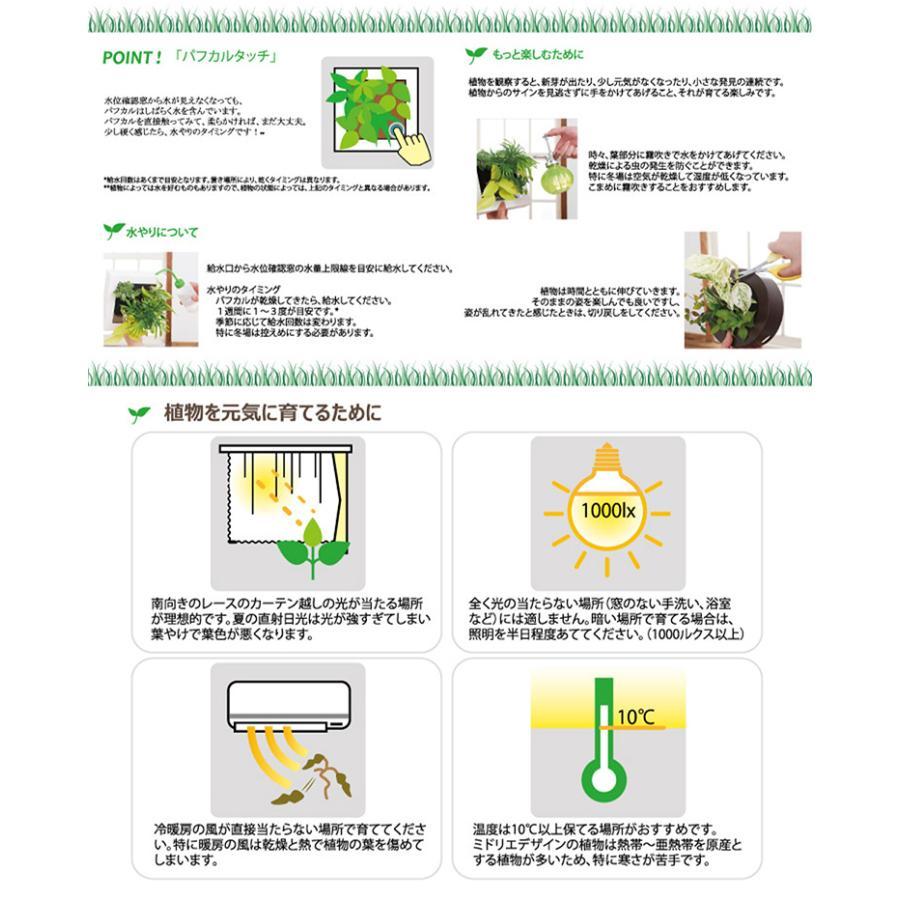 すみっコぐらし ミドリエデザイン 観葉植物 植物 壁掛け植物 本物 土を使わない パフカル苗 交換苗 かわいい 癒やし セットモデル3苗 ミドリエ給水ボトル|ndc1shop|11