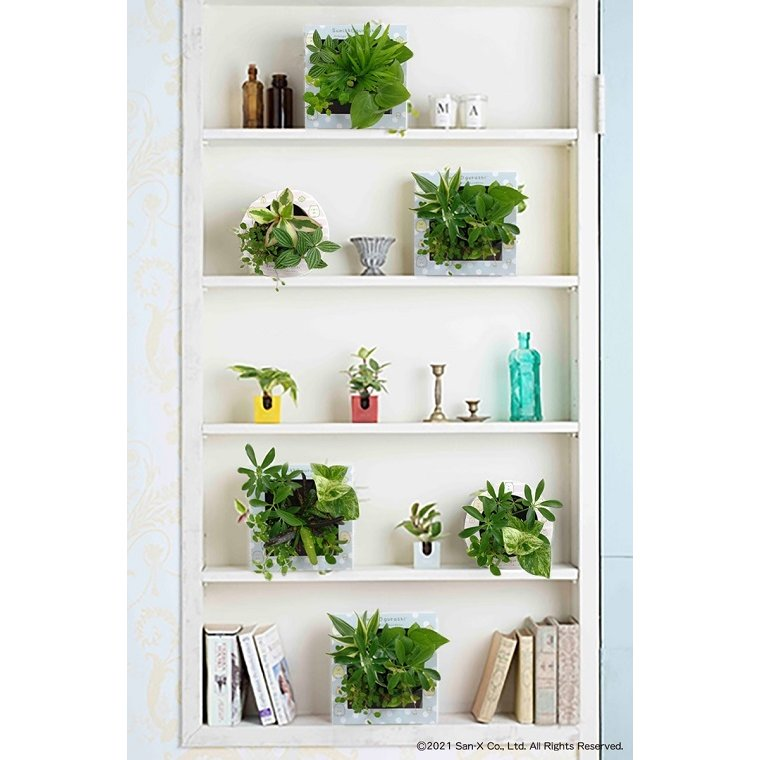 すみっコぐらし ミドリエデザイン 観葉植物 植物 壁掛け植物 本物 土を使わない パフカル苗 交換苗 かわいい 癒やし セットモデル3苗 ミドリエ給水ボトル|ndc1shop|14