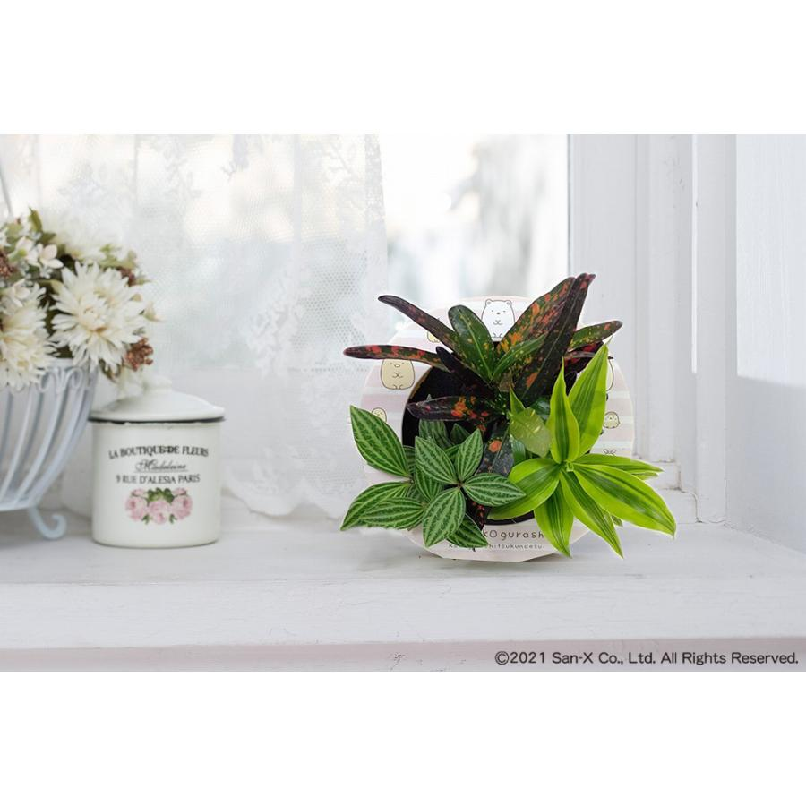 すみっコぐらし ミドリエデザイン 観葉植物 植物 壁掛け植物 本物 土を使わない パフカル苗 交換苗 かわいい 癒やし セットモデル3苗 ミドリエ給水ボトル|ndc1shop|15