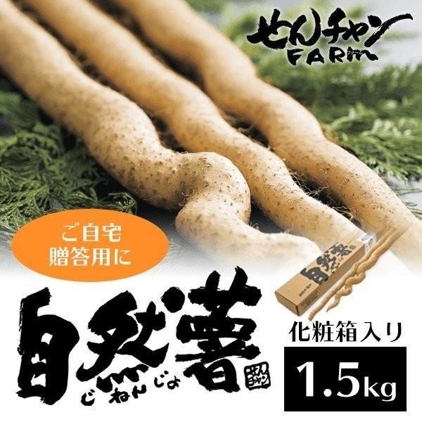 せんチャンファーム 自然薯 化粧箱入り1.5kg 三原ブランド認定 広島県 nemuriestore