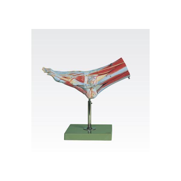 足の筋肉解剖模型/人体解剖模型 〔9分解〕 実物大 合成樹脂製 J-114-2〔代引不可〕