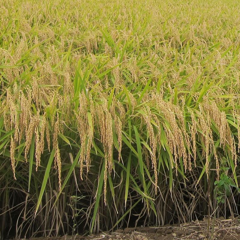 【お中元・贈り物に】新潟の米3種、バッグギ フトセット|niigatanokome|13