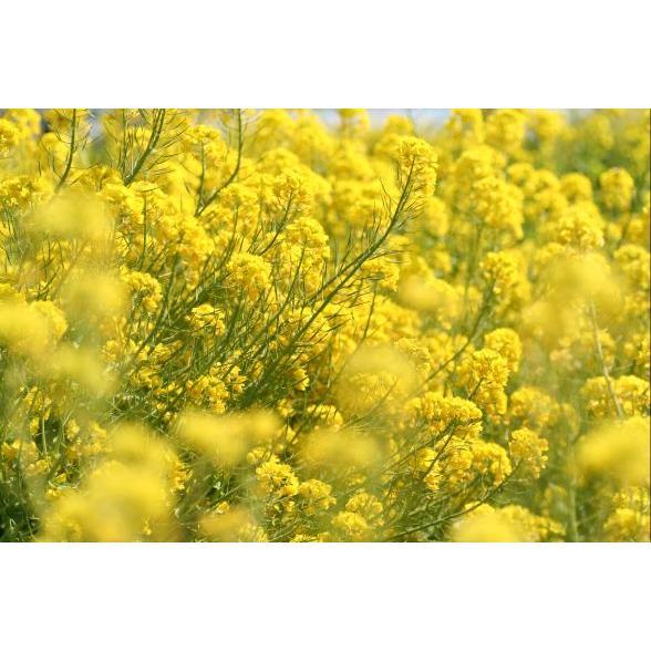 セール特価 菜の花の種子 1kg 永遠の定番モデル