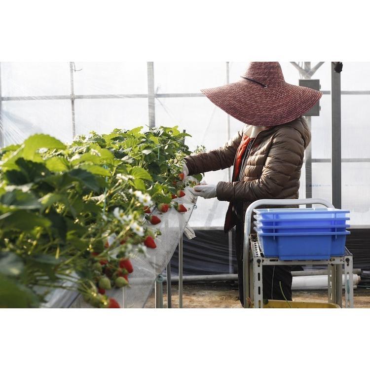 全部試したい★農家の冷凍勝占いちご・ジェラート・ジャムのよくばりセット|nishioka3gyou|10