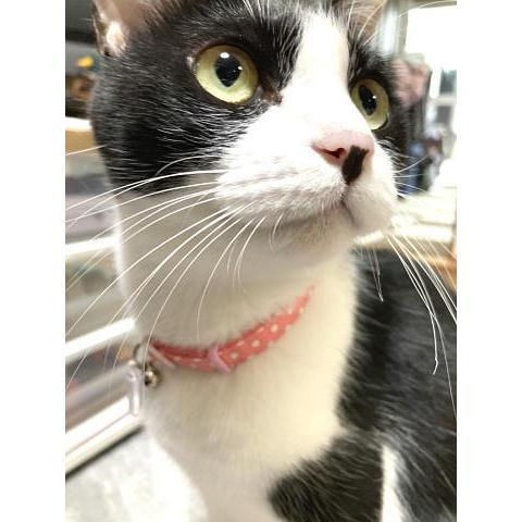 猫 ネコ ねこ キャット 首輪 安全バックル 軽い 負担少ない 手作り ソフト (猫用首輪 水玉)|nyanpakusengen|05