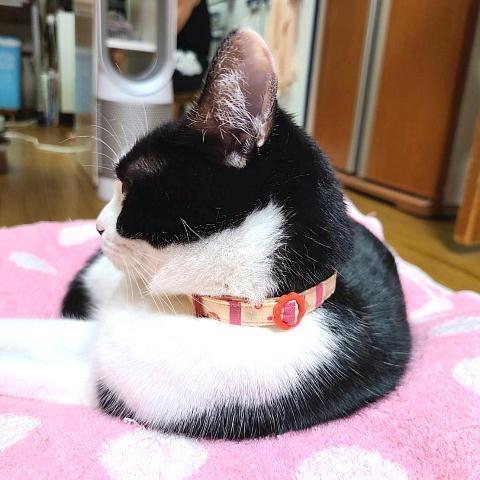 猫 ネコ ねこ キャット 首輪 安全バックル 軽い 負担少ない 手作り ソフト (猫用首輪 サーカス) nyanpakusengen 05