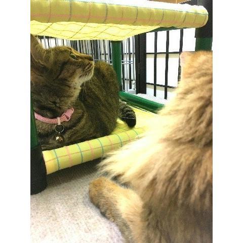 キャットタワー ハンモック 猫 ネコ ねこ 軽量 ニャンモック ベッド 多頭飼い スクエア 正方形 コンパクト 移動簡単 (にゃんぱく2段モック)|nyanpakusengen|05