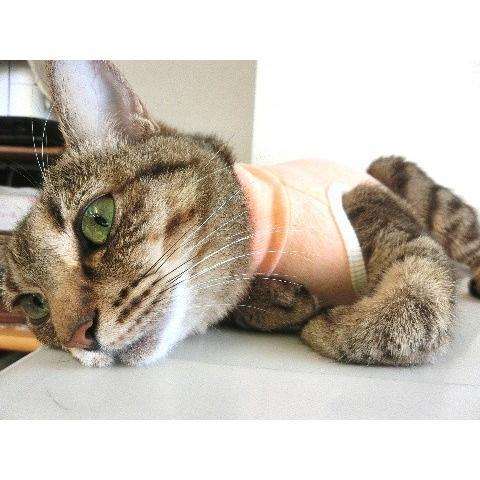 猫 キャット ネコ ねこ 術後 服 保護 傷 エリザベスカラー ウェア 術後着 なめ防止 脱毛 傷口 皮膚  伸縮 (ナメにゃいでレオタードオーガニック Lワイド)(419)|nyanpakusengen|06
