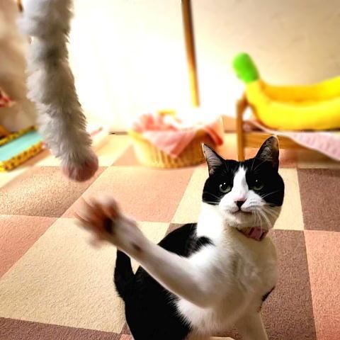 猫 ネコ ねこ じゃらし ジャラシ おもちゃ 付け替え 棒なし 手作り キラキラ ビニール リボン (付替じゃらしキラヒモ) nyanpakusengen 08