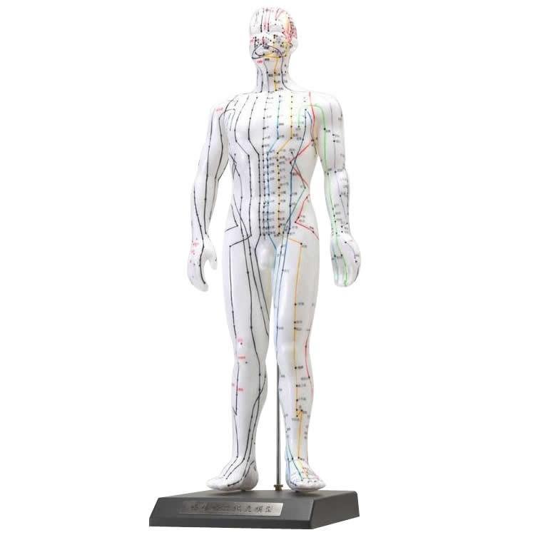 (代引不可) (同梱不可)人体模型シリーズ けいけつくんII(WHO新規格対応経絡経穴鍼灸模型) 教材 医療 日本語表記