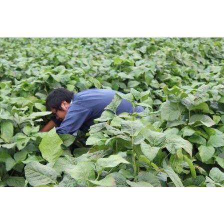 丹波篠山産黒枝豆1kg さやのみ(篠山市認定販売所たぶち農場)※収穫日に出荷いたします|ohatama|04