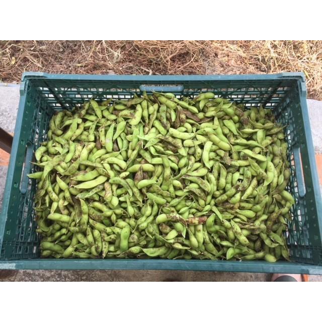 丹波篠山産黒枝豆1kg さやのみ(篠山市認定販売所たぶち農場)※収穫日に出荷いたします|ohatama|07