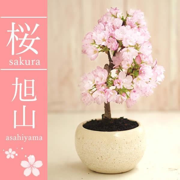 母の日 2021 プレゼント ギフト 花 スイーツ 母の日 花とスイーツ ギフトランキング 盆栽 桜 鉢植え お菓子 和菓子|oimoya|02