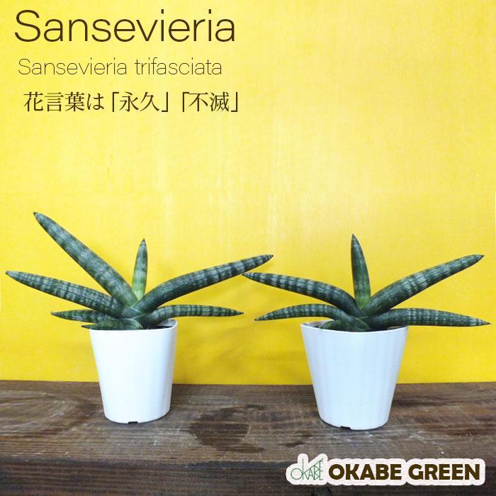 種類 サンスベリア
