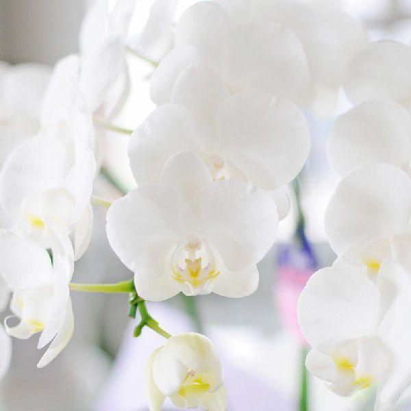 お供え 花 ミニ胡蝶蘭 鉢 花 アマビリス 2本立ち 白 ギフト お彼岸 お盆|osonaehana|03