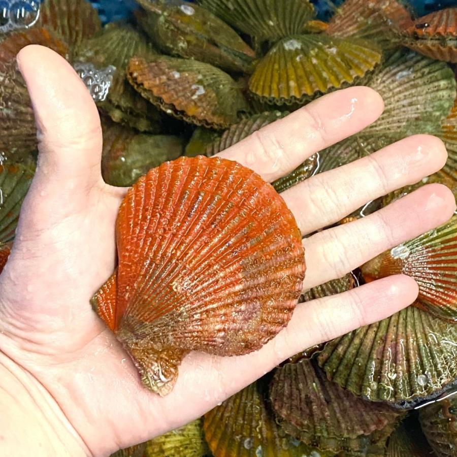 ヒオウギ貝10個、さざえ9~11個(総量約850g)絶品2種の貝セット /【アッパ貝 日の出貝 サザエ】|pearlshokuhinten|07