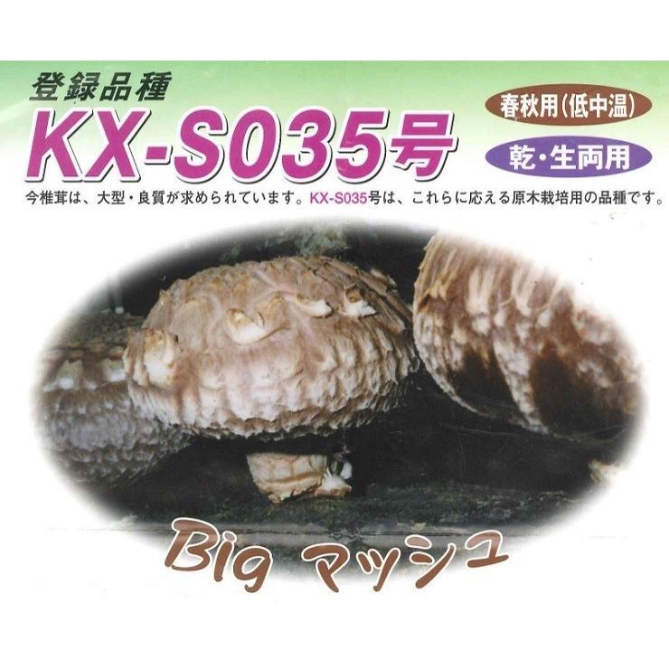 しいたけ 駒菌 ビッグマッシュ 250個 種菌 菌床 椎茸 キノコ 大型 肉厚 しいたけステーキにどうぞ|pegmarket|02