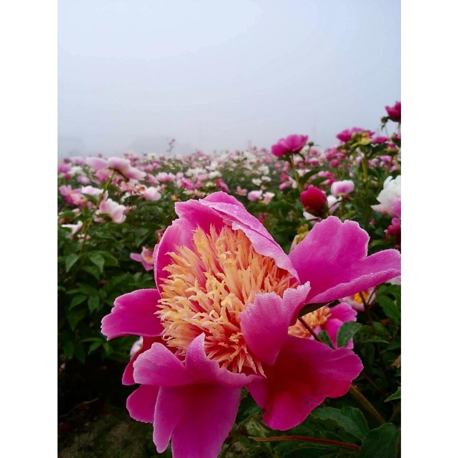 芍薬葉茎茶 2g×10包|peony-chikara|02
