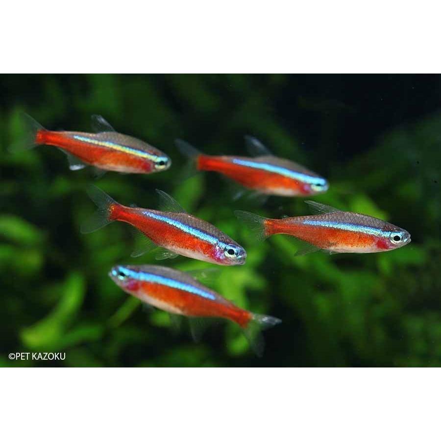 (送料無料) (熱帯魚) カージナルテトラ (ブリード) 30匹|pet-kazoku|02