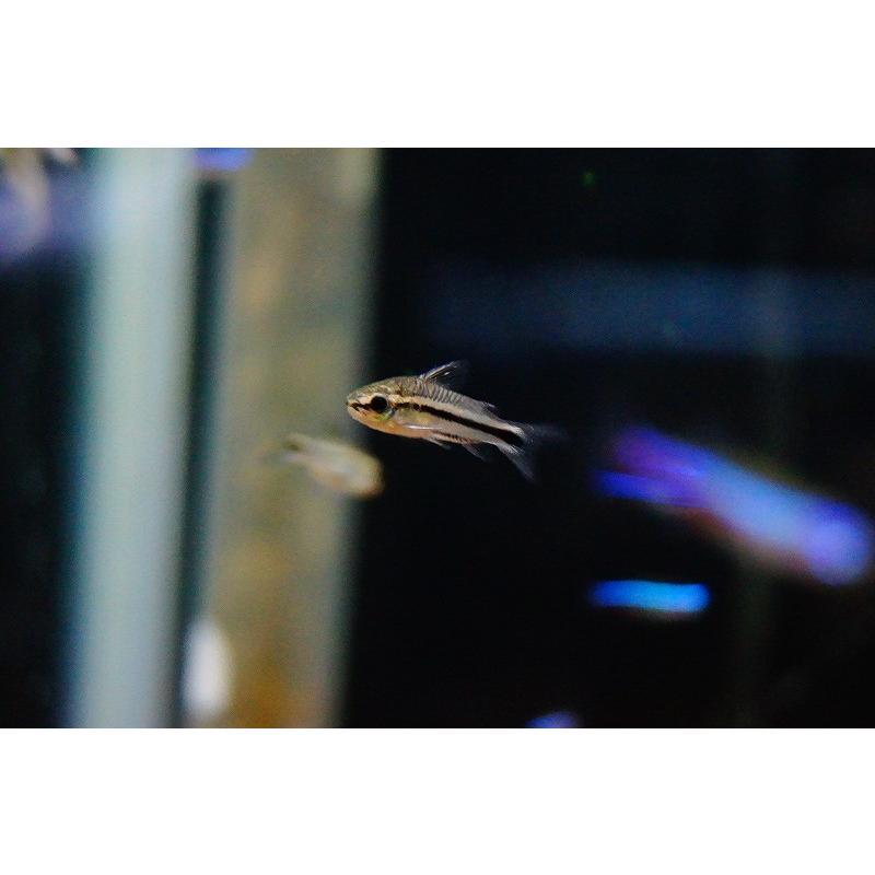 【淡水魚】【お取り寄せ】コリドラス・ピグミー【10匹】(生体)|petballoonshop