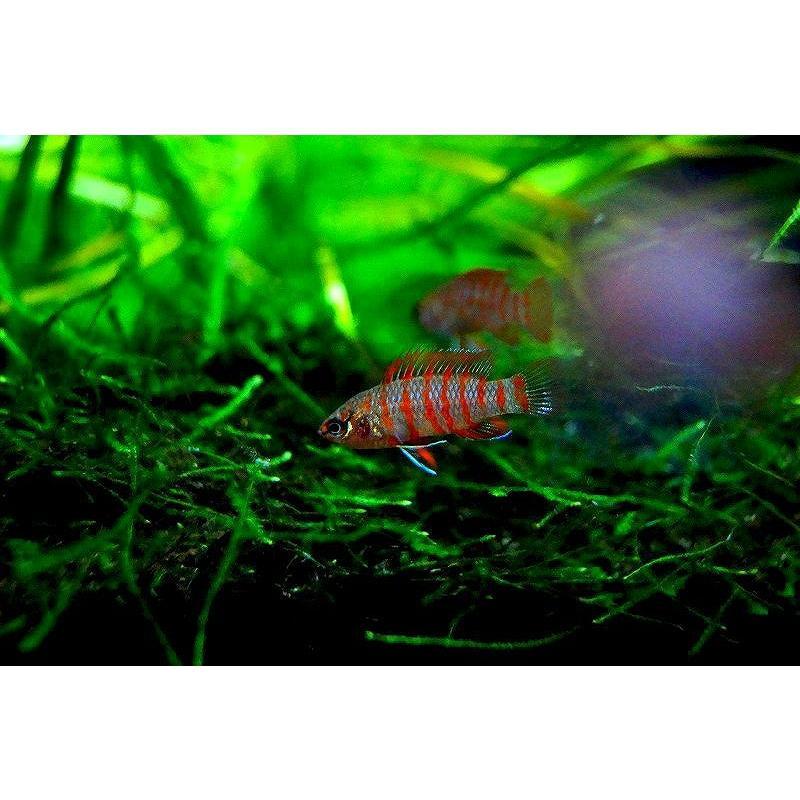 【淡水魚】スカーレットジェム【10匹】(±1cm)(熱帯魚) petballoonshop