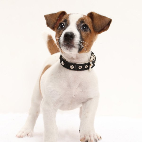 犬用首輪 デニムダイヤ <Sサイズ> ラインストーン 小型犬  中型犬 犬首輪|petgp|06