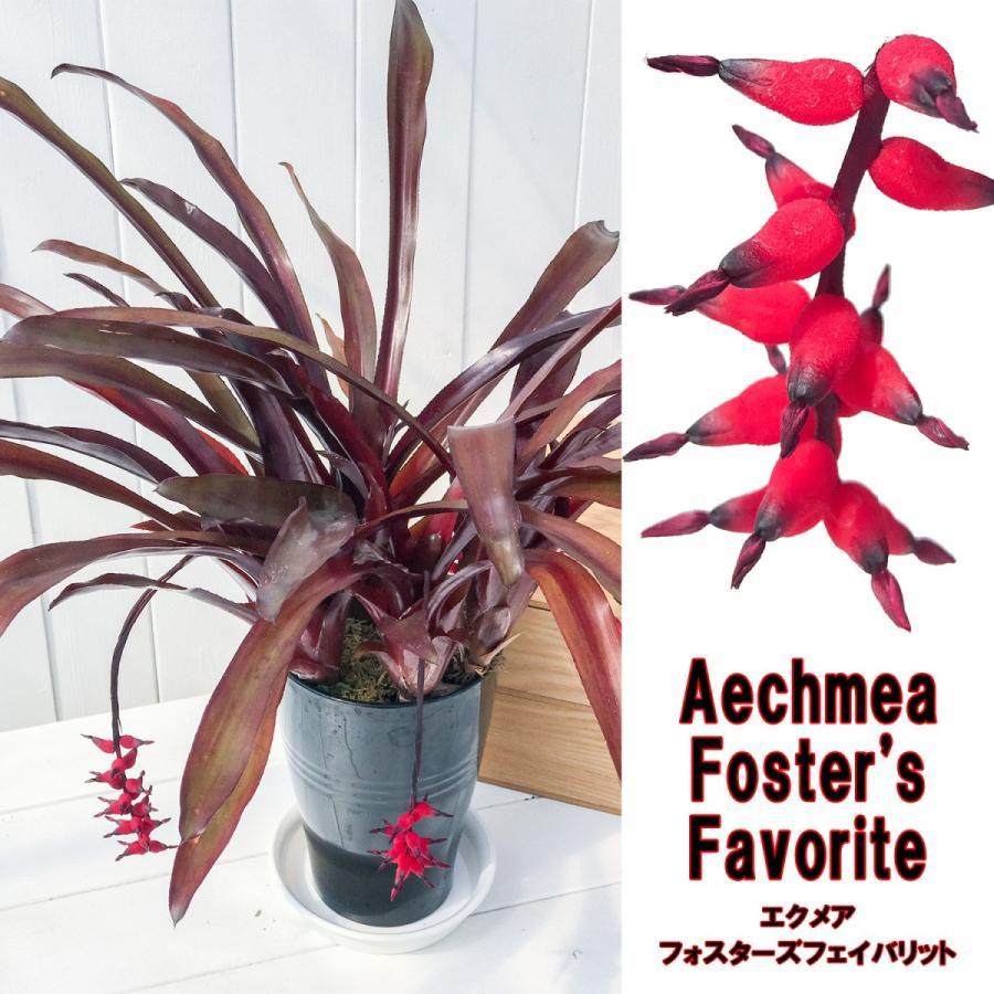 観葉植物 ブロメリア エクメア フォスターズフェイバリット 5号鉢 Aechmea 'Foster's Favorite'|planchu