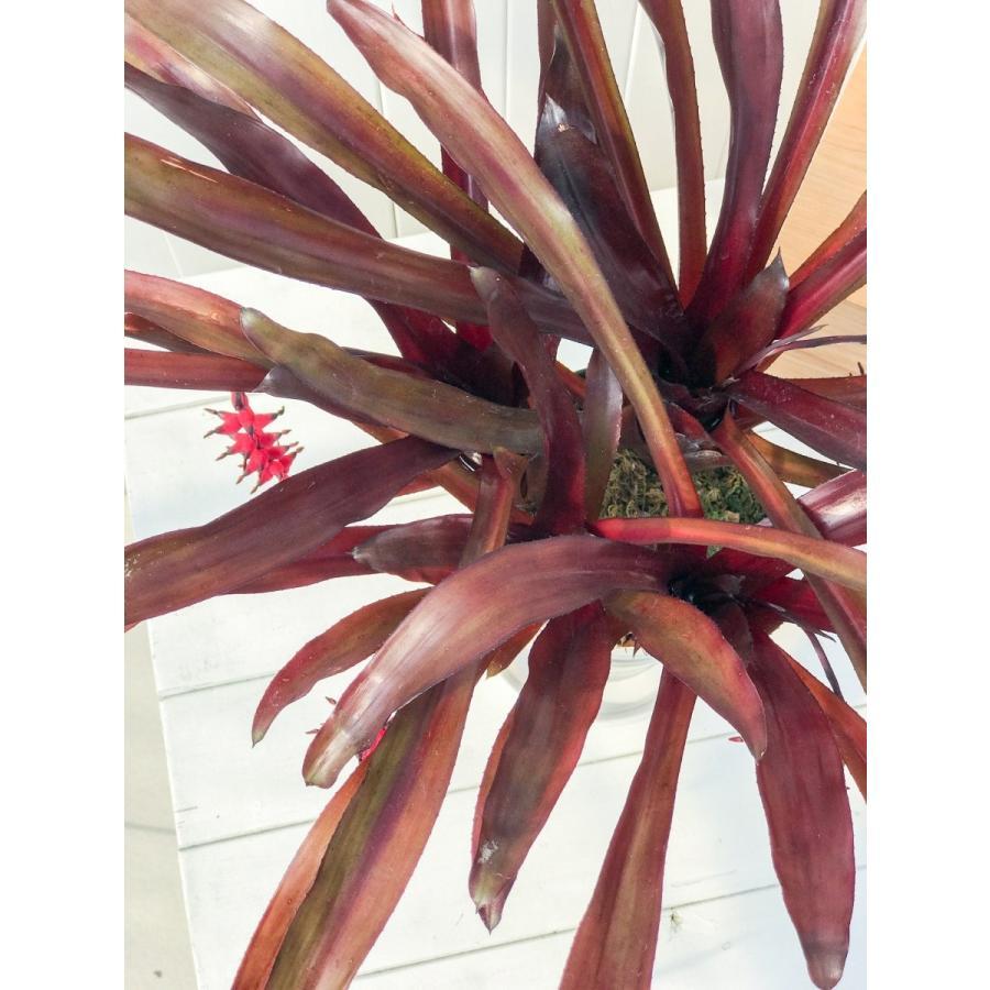 観葉植物 ブロメリア エクメア フォスターズフェイバリット 5号鉢 Aechmea 'Foster's Favorite'|planchu|04