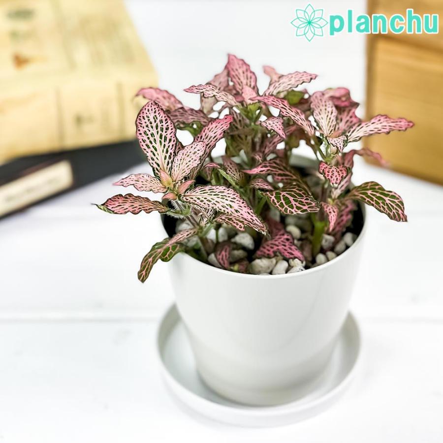 観葉植物 フィットニア おまかせ ピンク系 3.5号鉢 受け皿付き 育て方説明書付き Fittonia albivenis cv. アミメグサ|planchu