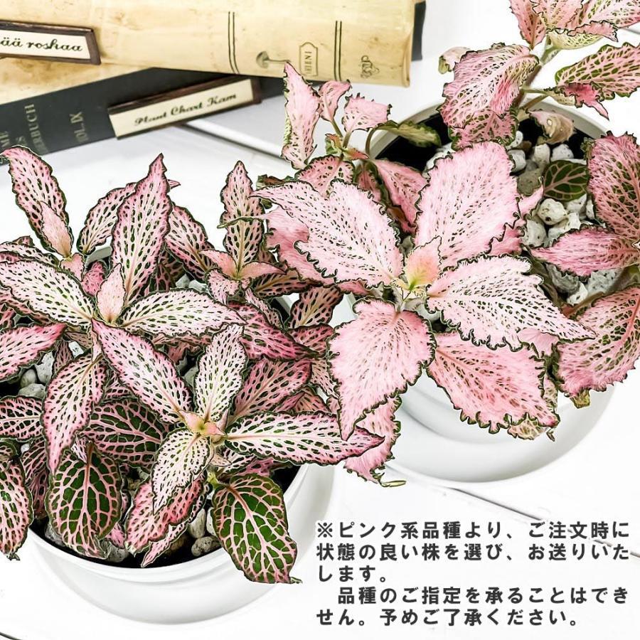 観葉植物 フィットニア おまかせ ピンク系 3.5号鉢 受け皿付き 育て方説明書付き Fittonia albivenis cv. アミメグサ|planchu|05