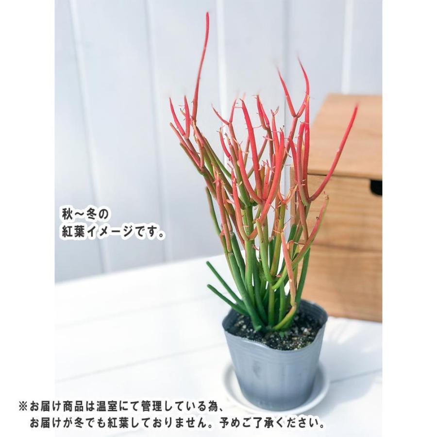 多肉植物 ユーフォルビア ティルカリ ファイヤースティック 3.5号鉢 受け皿付き Euphorbia tirucalli 'Fire Sticks' スティックオンファイヤー 観葉植物 planchu 05
