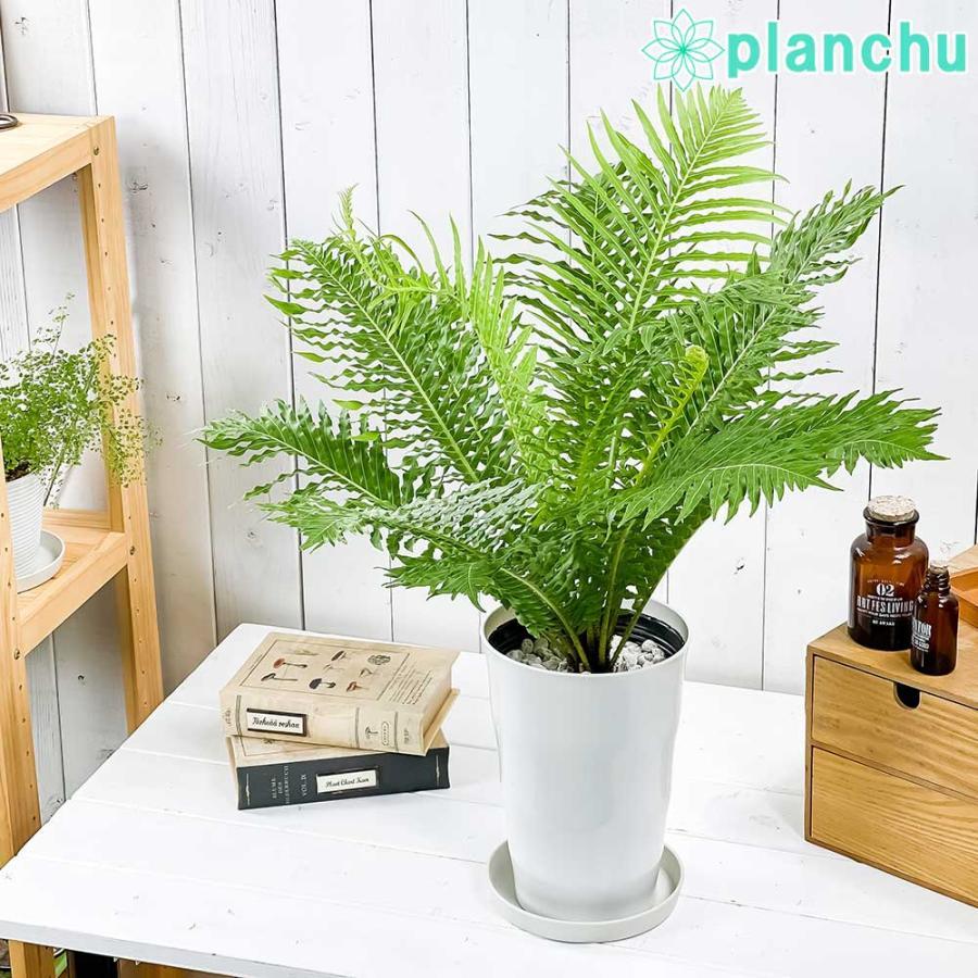 観葉植物 シダ ブレクナム シルバーレディ 6号鉢 受け皿付き 育て方説明書付き Blechnum gibbum 'Silver Lady'|planchu