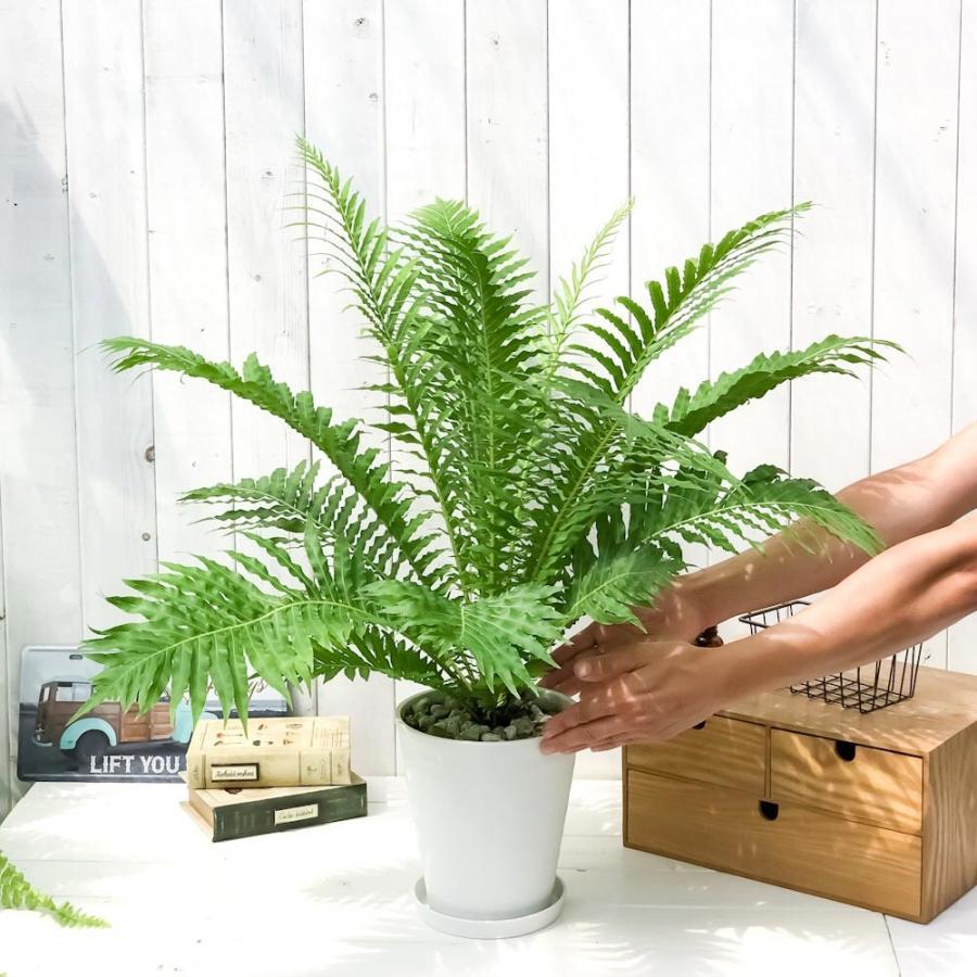 観葉植物 シダ ブレクナム シルバーレディ 6号鉢 受け皿付き 育て方説明書付き Blechnum gibbum 'Silver Lady'|planchu|05